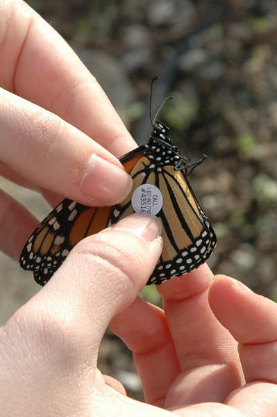 Moths And Butterflies The Prevalence Of Ophryocystis Elektroscirrha Infections In The Monarch  Butterfly Help With School Projects also Thesis For Compare Contrast Essay  How To Learn English Essay