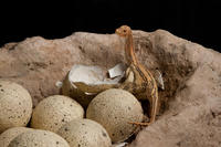 1a. Titanosaur nest close up-DF