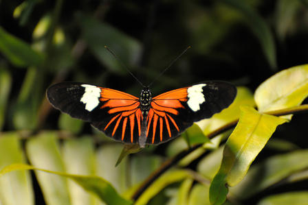 9085- Doris Longwing_DF