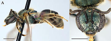 A side (A) and face (B) view of Lasioglossum gotham, a new species that was discovered in the New York Botanical Garden in the Bronx and in the Brooklyn Botanic Garden. Credit: Jason Gibbs/Cornell University