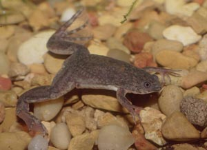 Laboratory Frogs