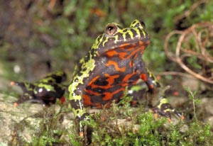 fire_bellied_toad_med.jpg