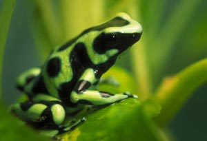 green_black_poison_frog_med.jpg