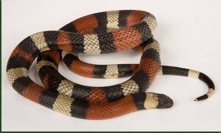 campbells milk snake