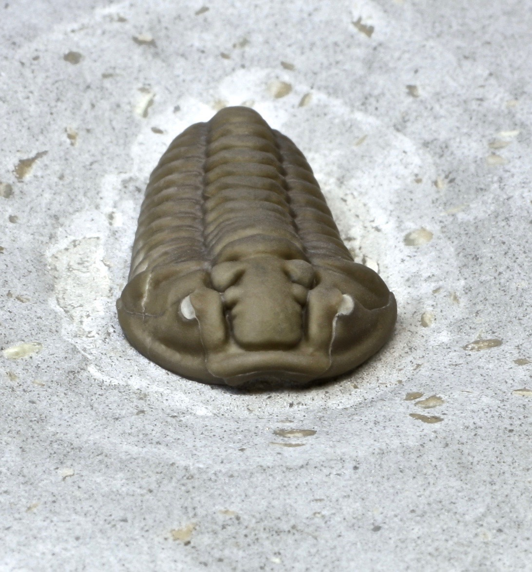 Fossil of the trilobite Calymene gamachei atop matrix