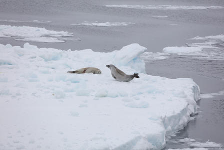 Seals in Antarctica
