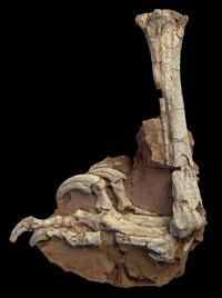 Balaur foot_copright Mick Ellison