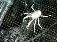 Basket Crab