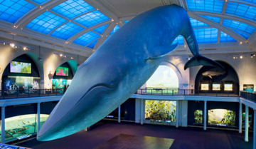 Full-size model of a blue whale is suspended from the ceiling, other ocean life dioramas in view surrounding it.
