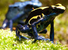 Dart-Poison-Frog-Vivarium_small