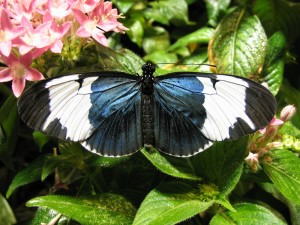 Heliconius (longwing) butterfly