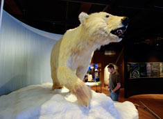 Polar bear © AMNH / Denis Finnin