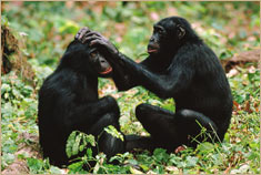 © Frans Lanting/Minden PicturesBonobo chimpanzee (Pan paniscus), mother grooming adult son, endangered species, Congo