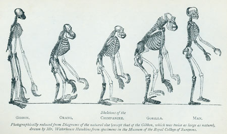 Huxley progression from Man's Place in Nature ©AMNH Library