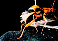 (c) Thomas Eisner and Daniel Aneshansley, Cornell University.Bombardier beetle