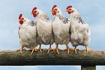 Chickens (Gallus spp.) ©DigitalVision / PictureQuest