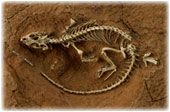 Unnamed Lizard Fossil