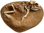 Baby Protoceratops Fossil