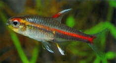 Glowlight tetra (Hemigrammus erythrozonus) © Peter and Martin Hoffmann