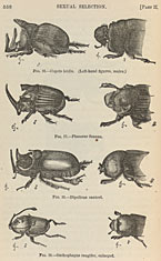 Sexual selection in beetles ©Clyde Peeling's Reptiland