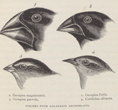 Finches from the Galapagos Archipelago, showing beak variation