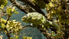 land-eco_chameleon_280.jpg