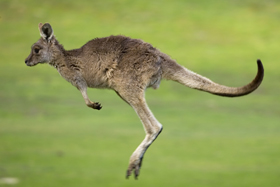 The front arms of kangaroos look small compared to its powerful hind legs. At birth, though, the tiny kangaroo will use those front arms to pull itself from birth canal to mother's pouch. Thorsten Milse/Robert Harding Picture Library/AGE Fotostock