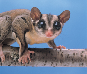 The large eyes of nocturnal sugar gliders help these mammals navigate and find food at night. Kitchin-Hurst/AGE Fotostock
