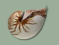 Chambered nautilus modelA close living relative of the ammonite, the chambered nautilus (Nautilus pompilius) lives at great depths and is an active swimmer. ©AMNH