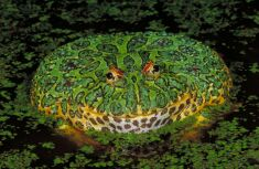 Ornate horned frog, Ceratophrys ornata Clyde Peeling's Reptiland