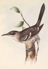 Galápagos mockingbird (Mimus melanotis). Illustration by John Gould, from Darwin'sZoology of the Voyage of H.M.S. Beagle. © AMNH Library