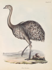 Lesser rhea (Rhea darwinii).  Illustration by John Gould, from Zoology of the voyage of H.M.S. Beagle ©AMNH Library