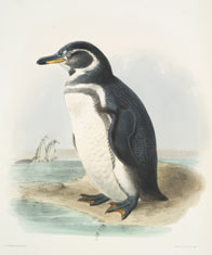 Galápagos penguin (Spheniscus mendiculus). Illustration by John Gould, from Darwin's Zoology of the Voyage of H.M.S. Beagle . © AMNH Library