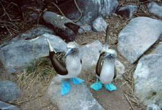 Blue-footed boobies (Sula nebouxii excisa) © Stephen C. Quinn/AMNH