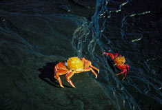 Sally Lightfoot crabs (a.k.a. red lava crabs)(Grapsus grapsus) © Stephen C. Quinn/AMNH