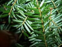 Eastern hemlock needles