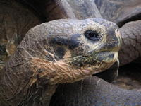 Lonesome George ZG