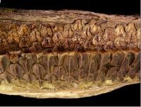 A battery of fossilized teeth.