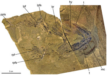 A fossil in a brown-colored matrix with letters calling out specific parts