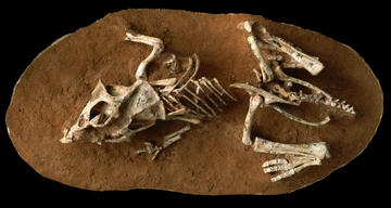 A hatchling Protoceratops fossil in a stone matrix