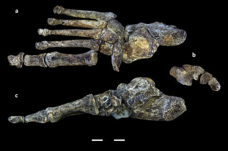A digital reconstruction of the foot of Homo naledi.  © Nature Communications