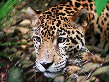 This is a photo of a jaguar