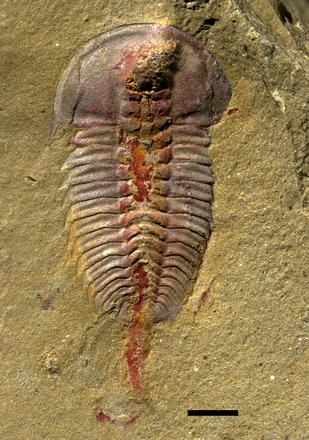 This photo shows an animal with horizontal ridges and a rounded head in a sand-colored matrix. A rounded red tube runs down the middle of the body.