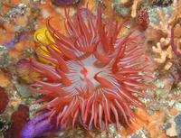 This sea anemone, Actiniidae sp., was photographed in Algoa Bay, Port Elizabeth, South Africa. ©Bernard Picton/National Museums Northern Ireland