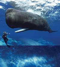 Sperm whale and diver