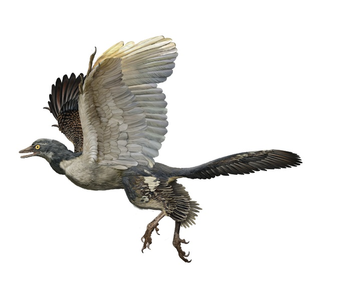 Archaeopteryx in flight