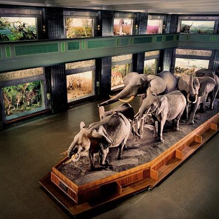 African elephant diorama in Akeley Hall of African Mammals