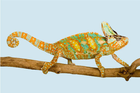 Image of a chameleon on a thin brown branch. The chameleon is displaying green and yellow spots on its light brown body.