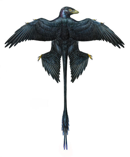 Artist's rendering of Microraptor, a four-winged dinosaur with black-blue plumage.