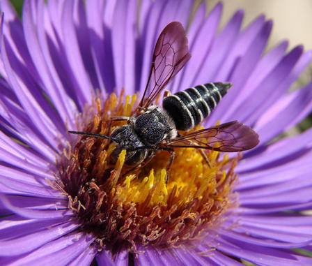 Bee crawling into the center of a bright purple flower.